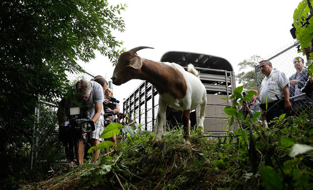 """Eco-Goats"" to the rescue"