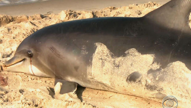 Dolphins have been found dead in New Jersey, Virginia, Maryland and New York.