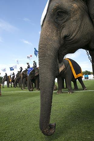 Elephants dominate the polo field