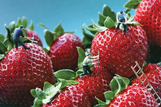 strawberry_seed_poachers_1.jpg