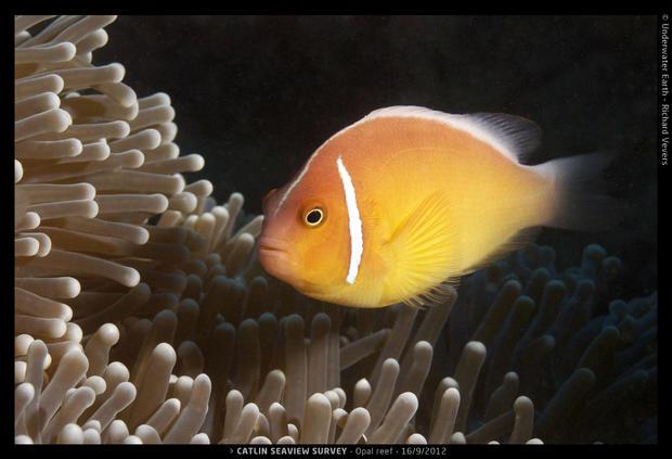 Catlin_Seaview_Survey._Opal1_L_Clownfish.jpg