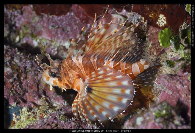 Catlin_Seaview_Survey._2012.10.08_L_Knife_Lion.jpg