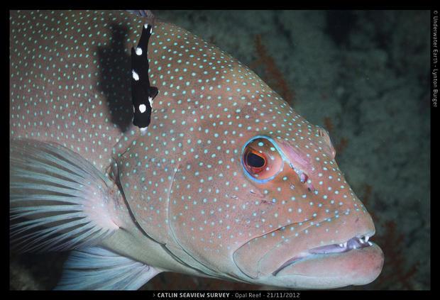 Catlin_Seaview_Survey._2012.11.21_L_Opal_Cod.jpg