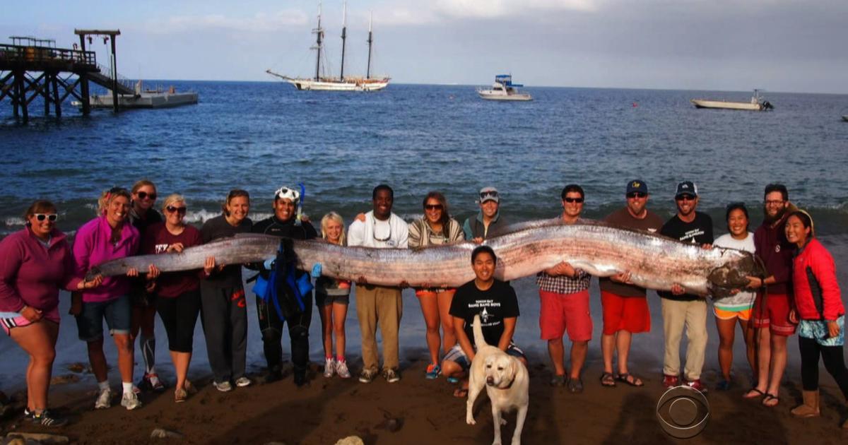 18 Foot Quot Sea Serpent Quot Caught Off Calif Coast Cbs News