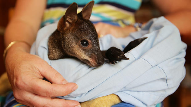 Australian fires threaten wildlife