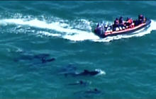 Rescue workers attempting to herd stranded whales out of the Everglades