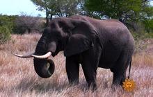 Nature: Elephants
