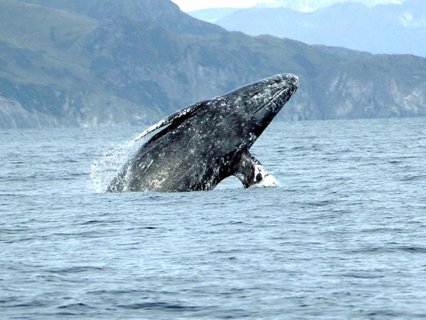 Gray_Whale_Merrill_Gosho_NOAA.jpg