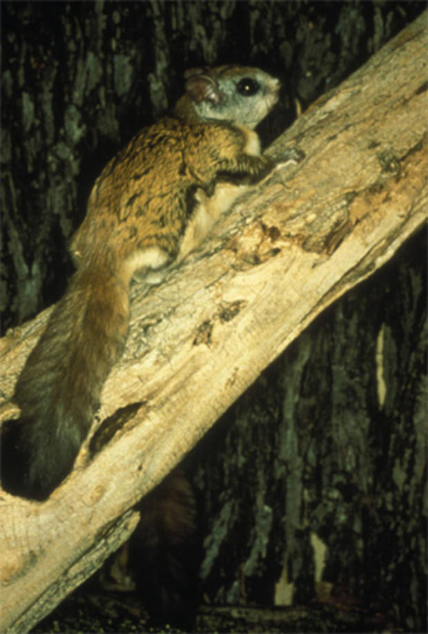 Virginia_Northern_Flying_Squirrel_FWS.jpg