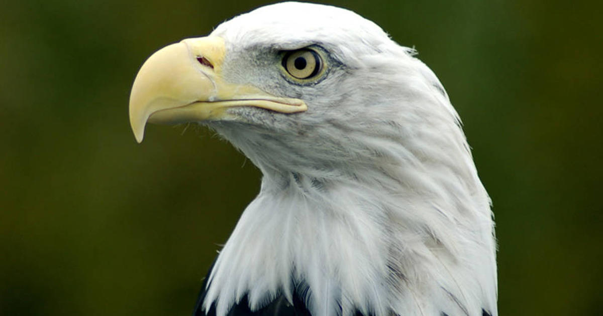 Shot And Left For Dead, Rescued Bald Eagle Dies In -7823