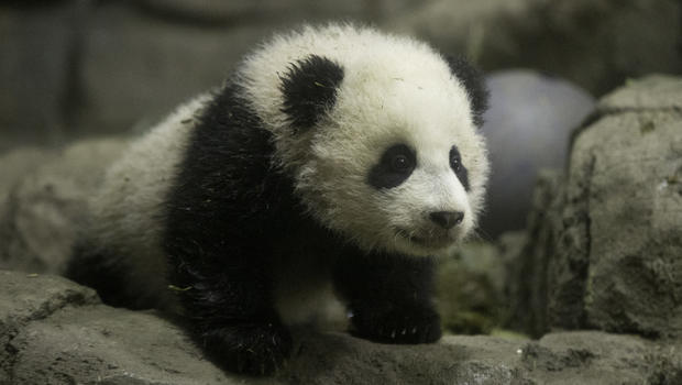 Bao Bao takes a bow