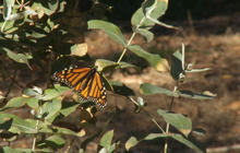 Nature: Monarch butterflies