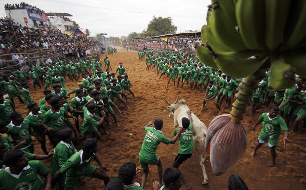 Taming bulls in India