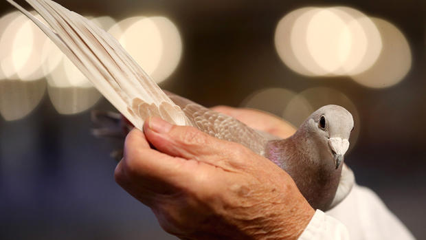 May the best pigeon win
