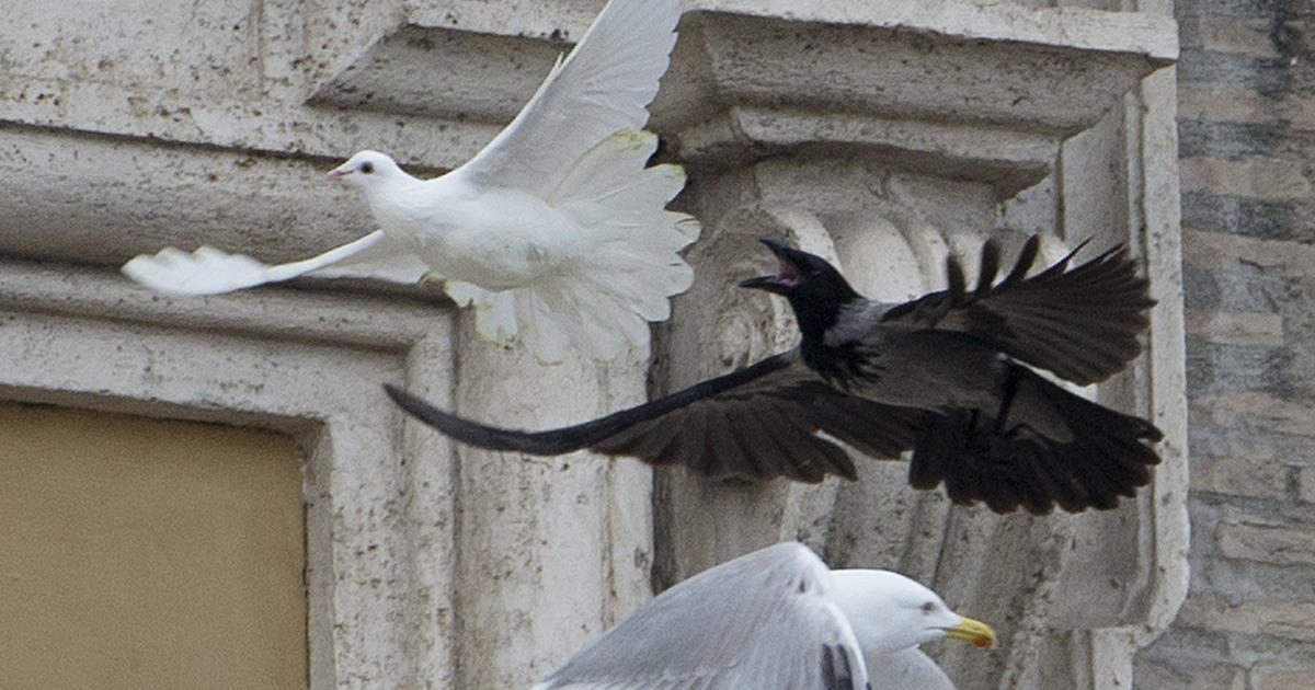 Pope Francis Peace Doves Attacked At Vatican Cbs News