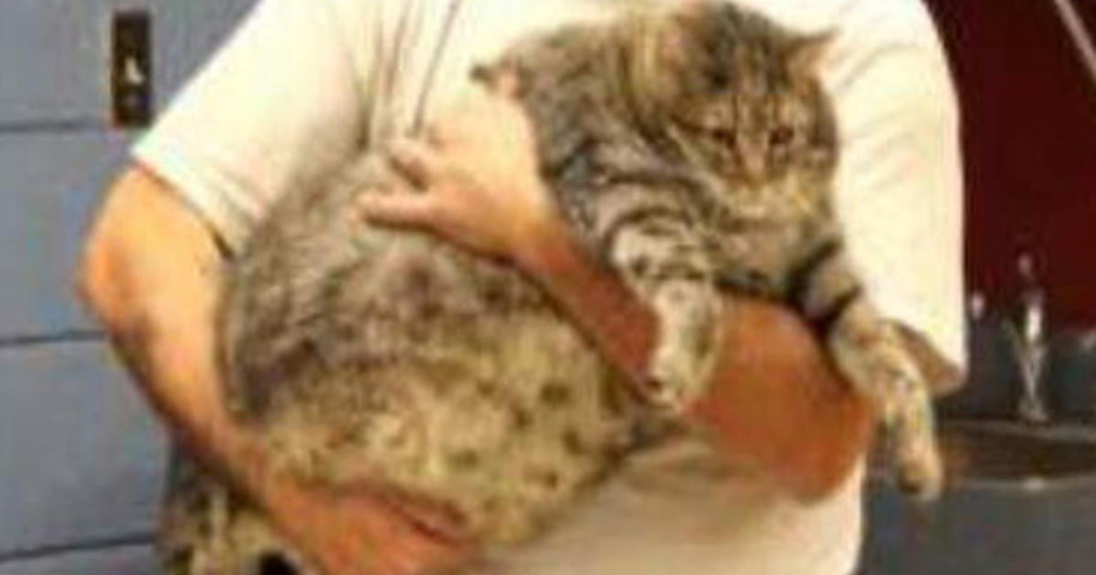 arizona shelter takes in 36 pound cat cbs news. Black Bedroom Furniture Sets. Home Design Ideas