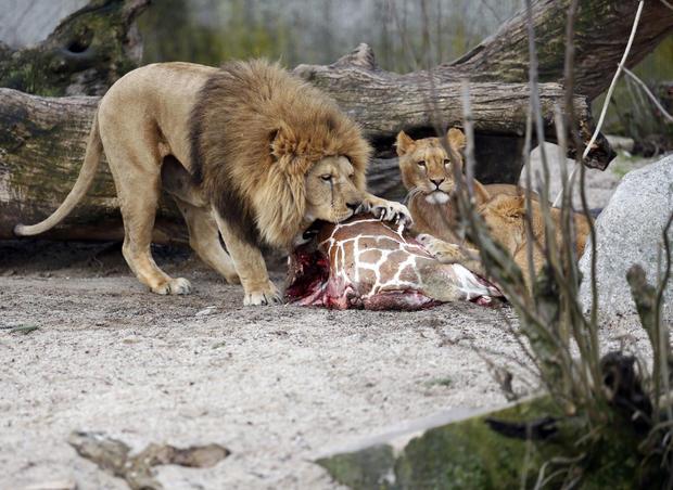 Giraffe fed to lions at Danish zoo