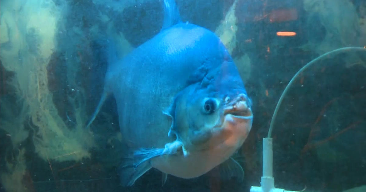 rufus a 37 year old carrot eating fish gets new home On fish 4 u