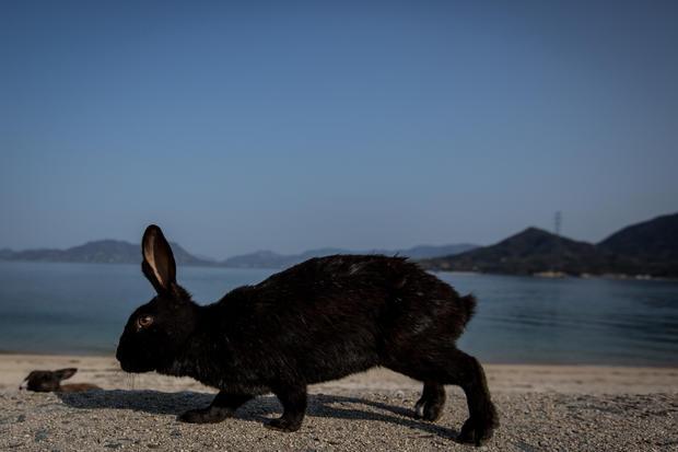 Japan's bunny island