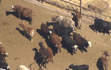 Armed protesters head to Nevada in fight over cattle ranch
