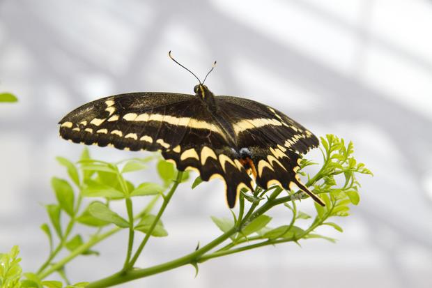 schausswallowtail014.jpg