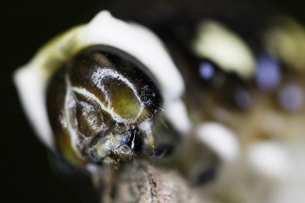 schausswallowtail005.jpg