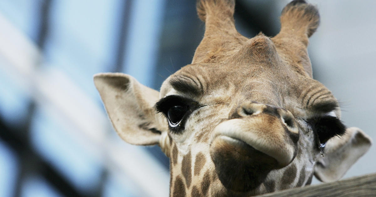 What's making that eerie nighttime hum? (Surprise: It's a giraffe)