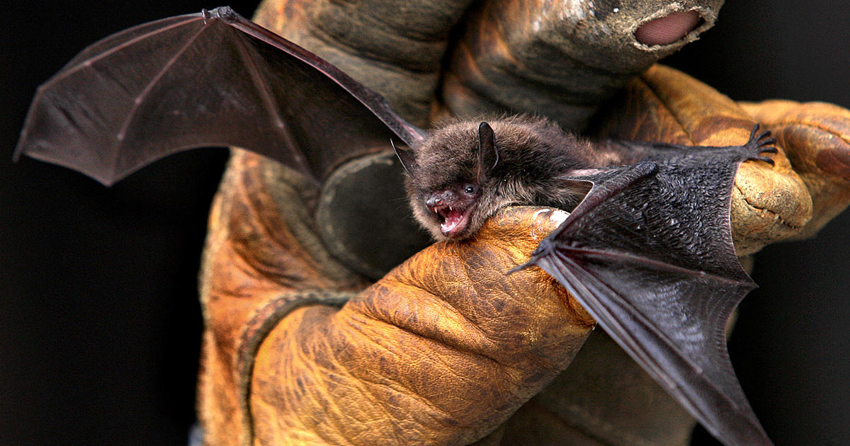 Bats' future hangs in the balance as deadly disease spreads
