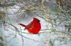 cardinal-in-snow-cbs.png