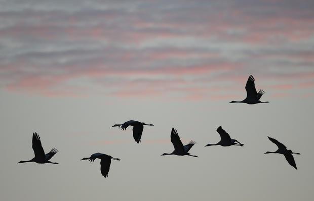Crane migration