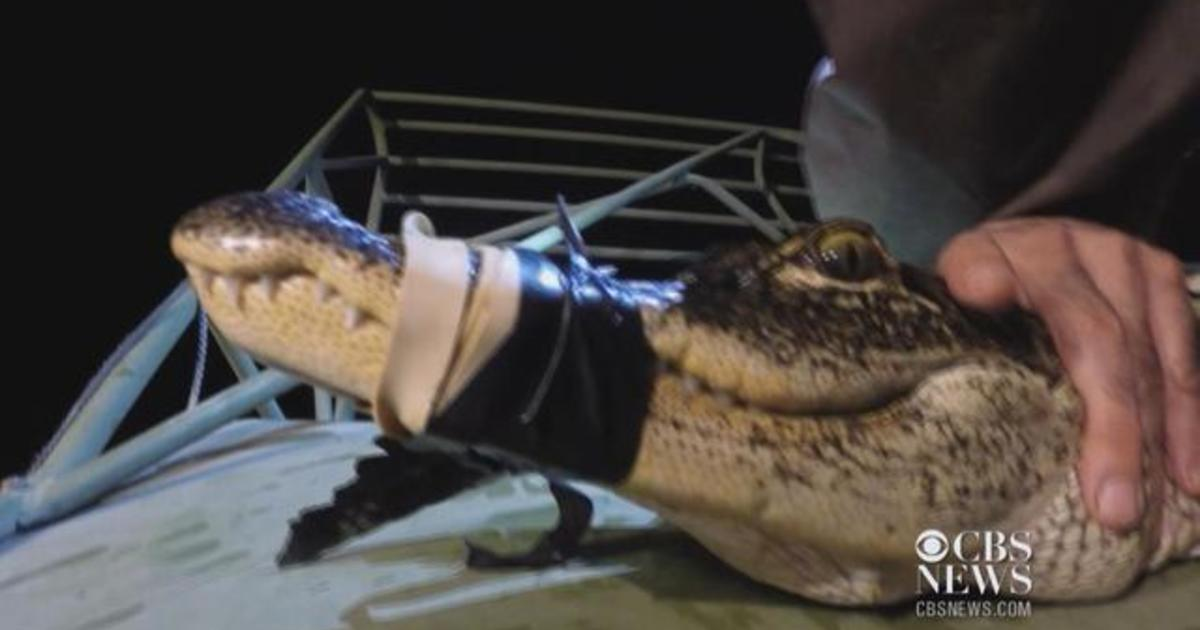 What S Killing The Alligators Of The Florida Everglades Cbs News