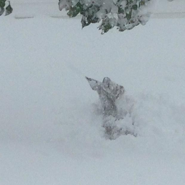 deer-stuck-in-snow-lancaster-ny-credit-nicole-schuman.jpg