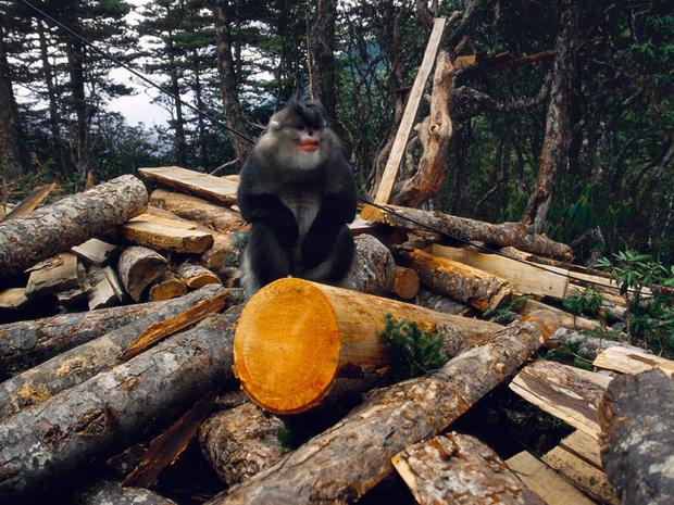 snub-nosed-monkeys-shen-cheng-017.jpg