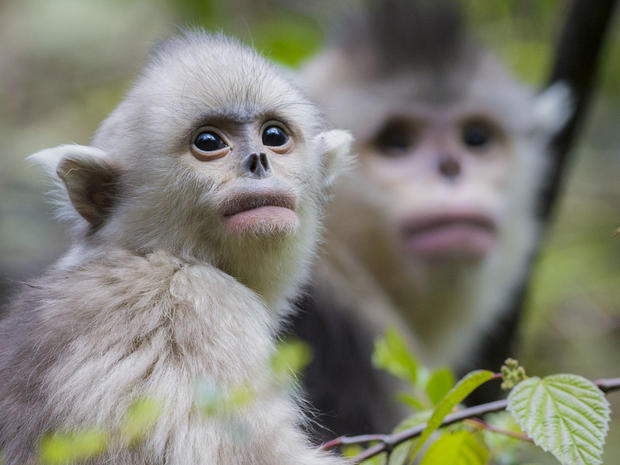 China's rare snub-nosed monkeys