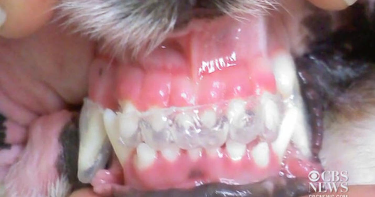 Image of: Brush Cbs News Why Dogs And Cats Need Dental Care Sometimes Even Braces Cbs News
