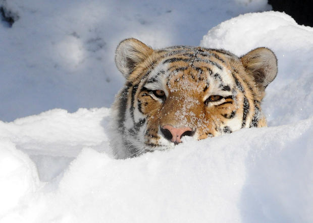 Bison, wolf, and tiger play in snow