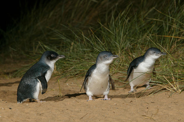 Three rehabilitated penguins stand in the sand at Phillip Island Nature Parks.