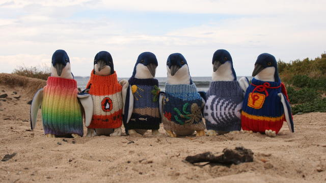 A program run through Phillip Island Nature Parks in Australia provided sweaters for penguins in oil spills. The sweaters keep the birds from consuming the oil on their bodies before workers can clean them.