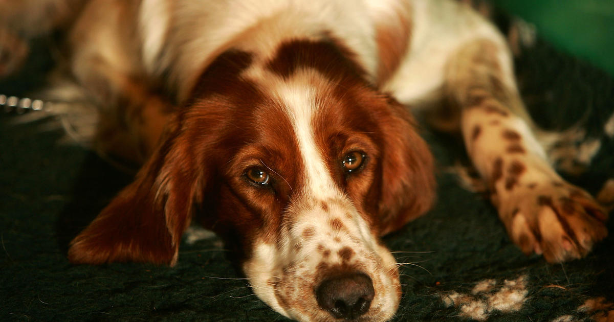 Disappearing Dogs 22 Disappearing Dog Breeds Pictures Cbs News