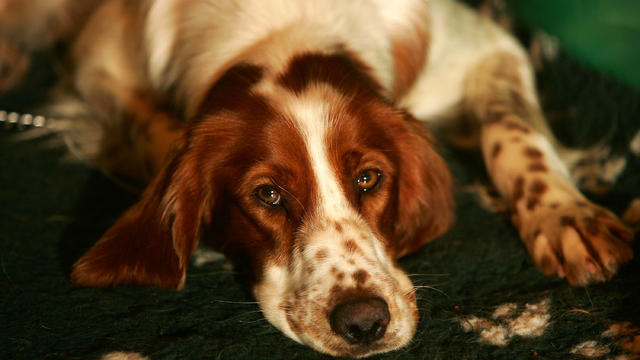 irish-red-white-setter.jpg