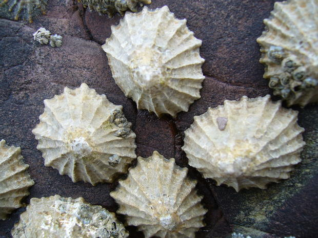 commonlimpets1.jpg