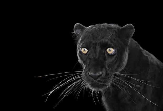 blackleopard1.jpg