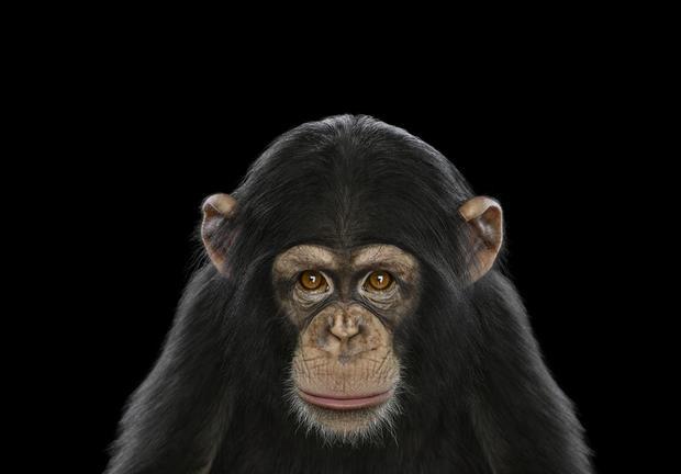 chimpanzee6.jpg