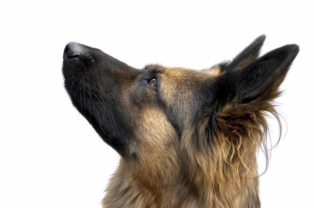 german-shepherd-dog2istock.jpg