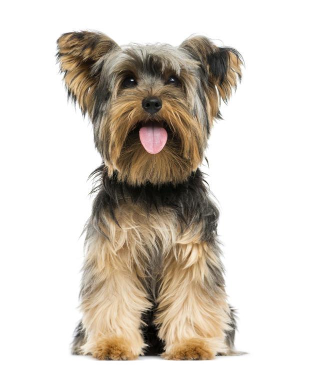 yorkshire-terrier3istock.jpg