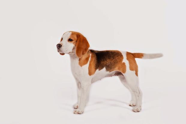 beagle1akc.jpg