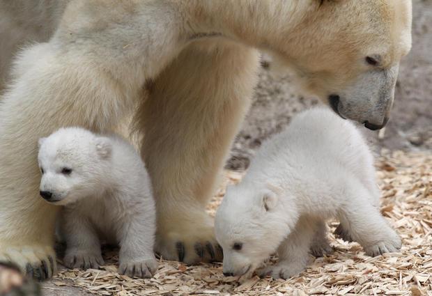 polar-bears23getty.jpg