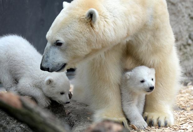 polar-bears13getty.jpg