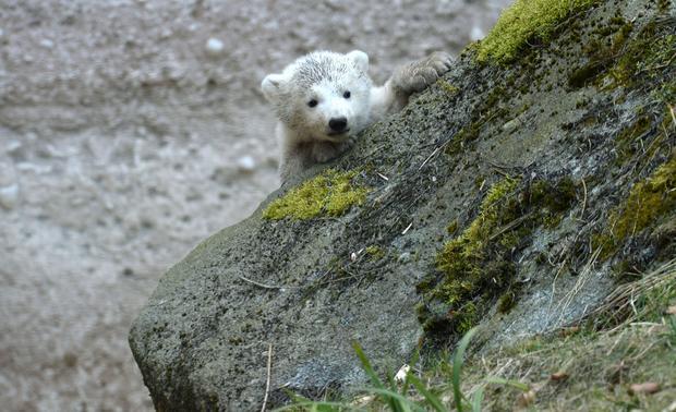 polar-bears14getty.jpg
