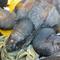south-carolina-aquarium-sea-turtle-rescue-program-leatherback-sea-turtle-march-2015-5.jpg